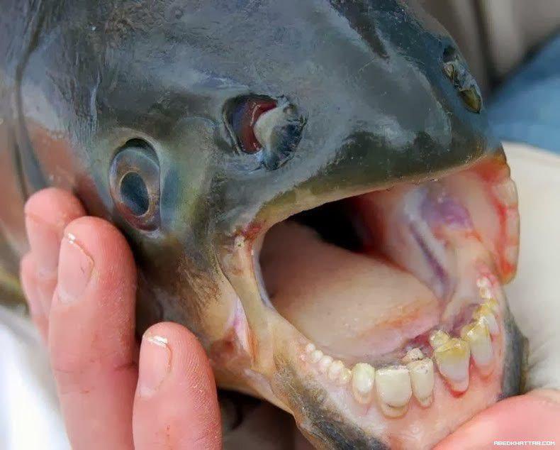 سمكة لديها أسنان تشبه أسنان الإنسان