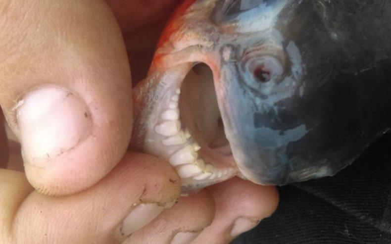 سمكة الباكو