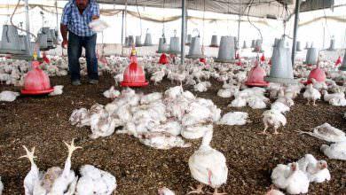 موجة الحر تكبد مربي الدجاج خسائر بـ نصف مليون دولار في قطاع غزة
