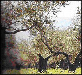 موسم الزيتون في فلسطين    حصاد بالدم والأمل